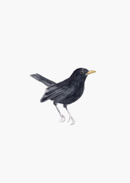Blackbird (color)