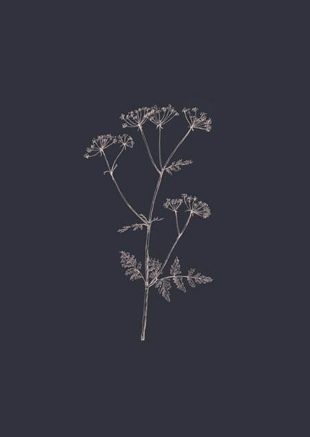 Cow parsley (blue)