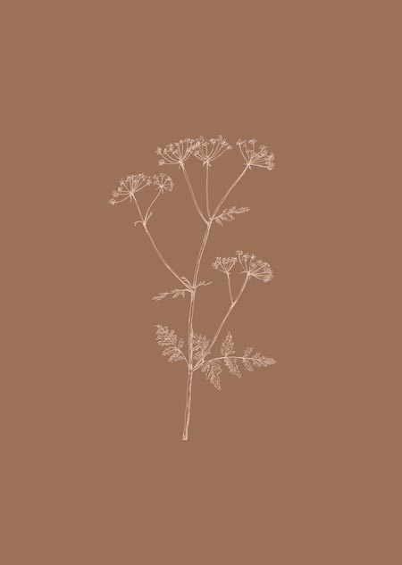 Cow parsley (toffee)
