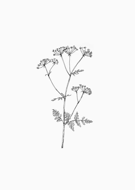 Cow parsley (black-white)