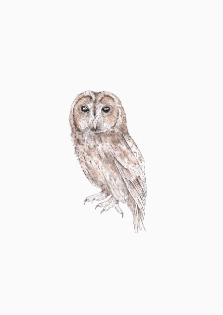 Tawny owl (color)
